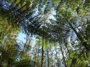 eucalyptus-geant-foret--21b5c2T650